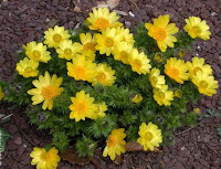 Лекарственное растение адонис весенний