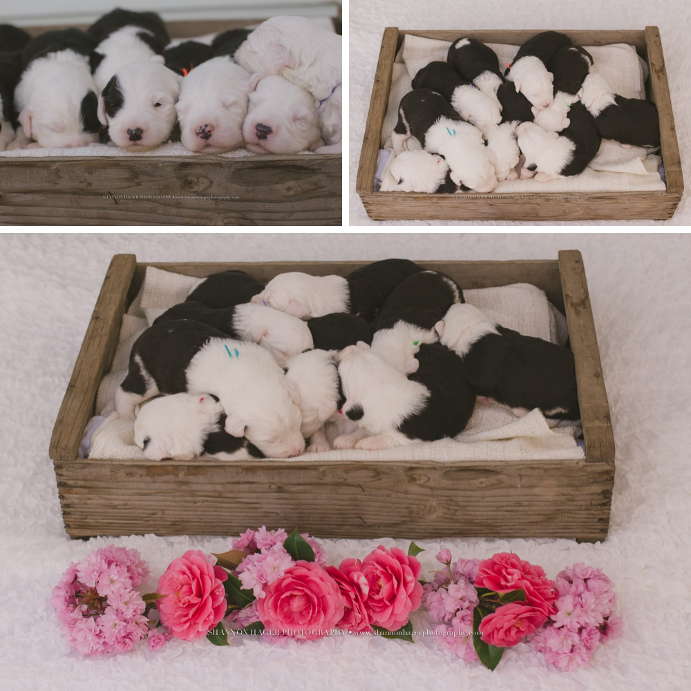 old english sheepdog puppy, snowdowne, oes breeder, pet photographer portland