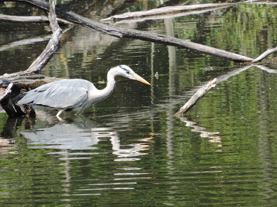 The Heron