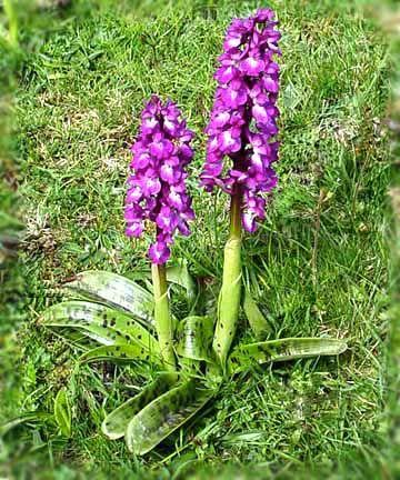 Especies de orquideas terrestres