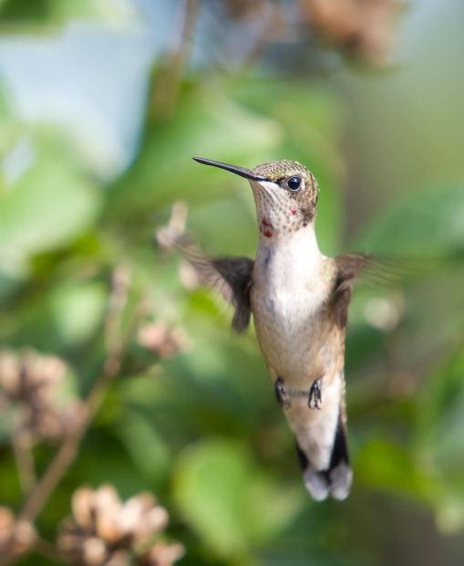 Wild Birds Unlimited: Where Ruby-throated Hummingbirds nest