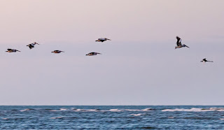 Pelicans being lead by a black swan