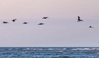 Pelicans being lead by a black swan