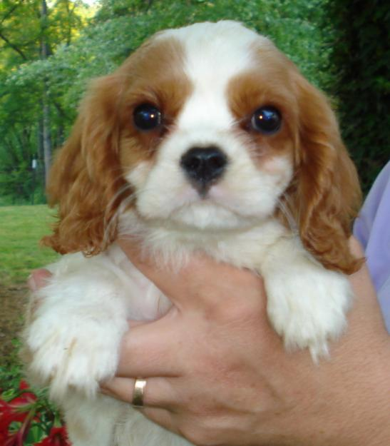 Cute Cavalier King Charles Spaniel Puppies high resolution