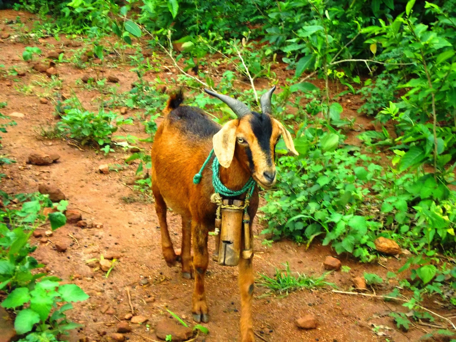 Goat with bamboo bells