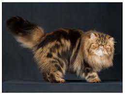 Kucing Persian Di Kuantan Pahang Malaysia Kategori Kucing