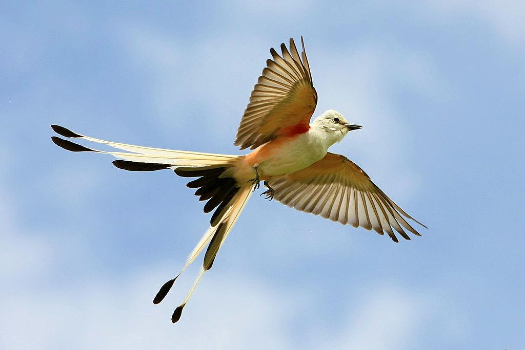 northern royal flycatcher