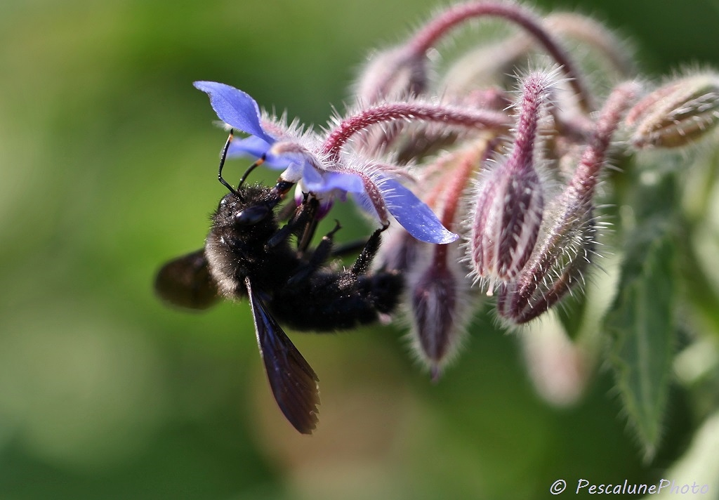 pescalune photo abeille charpenti re xylocopa violacea carpenter bee. Black Bedroom Furniture Sets. Home Design Ideas