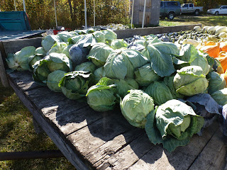 A truck load of cabbage heads