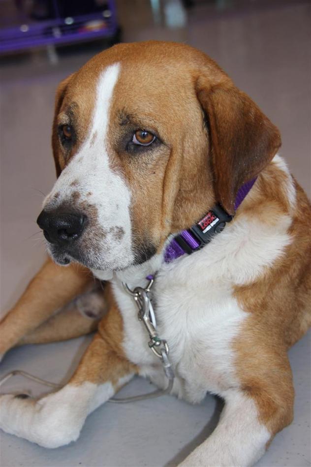 Adoption Monday: Sampson, St. Bernard & Labrador Retriever ...