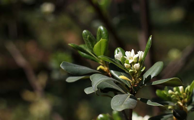 Pittosporum Tobira Flowers Pictures