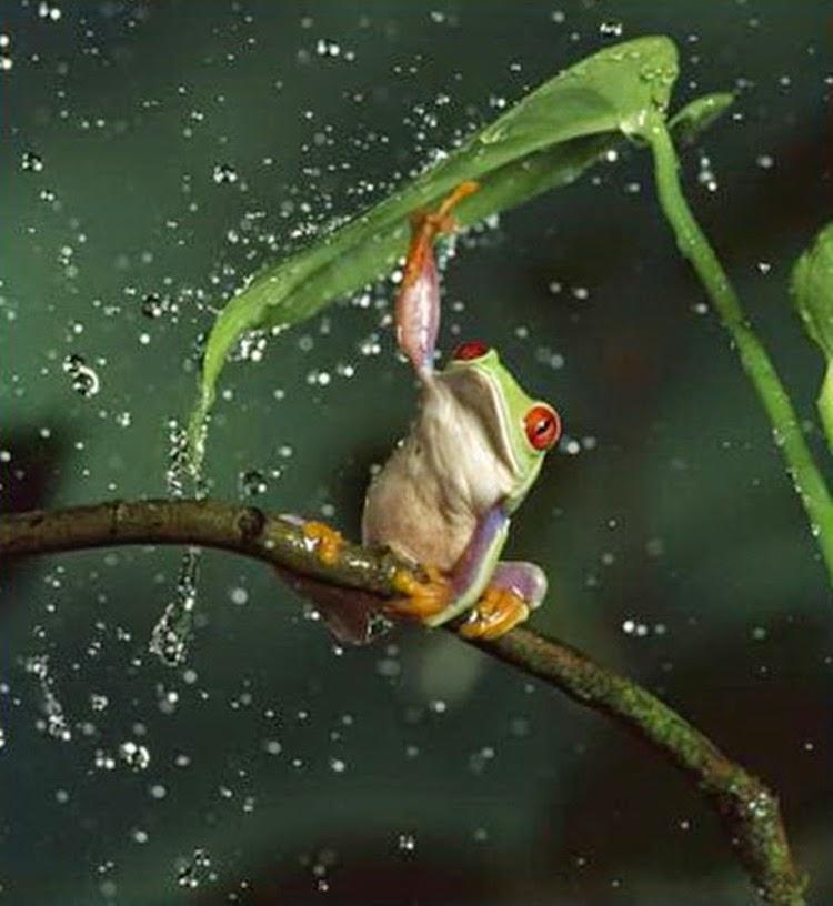 Green Frog Enjoys the Rain