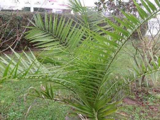 Ma plan te jardin le palmier de chine rustique et tr s for Yucca exterieur rustique