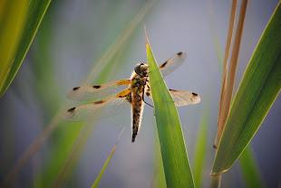 Uitrustende libelle