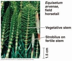 http://www.cerdasshare.com/2015/03/klasifikasi-dan-taksonomi-tumbuhan-paku.html
