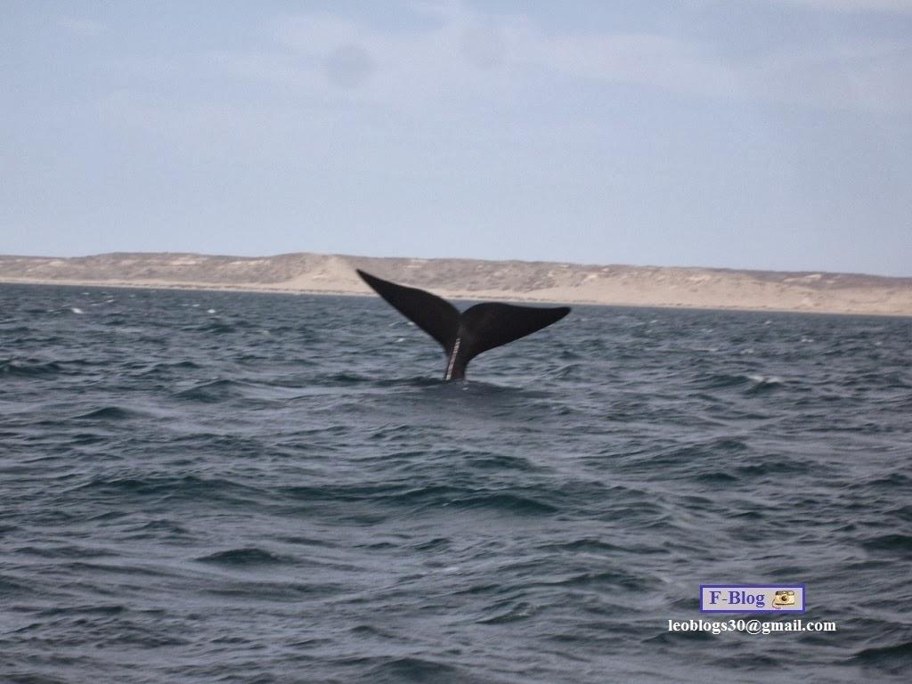 Avistaje de ballenas - Cola de ballena Franca Austral