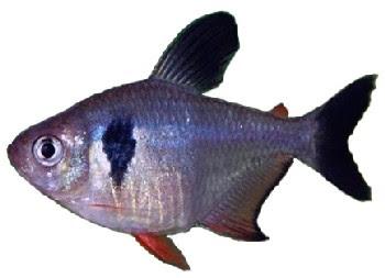 Tetra Black Phantom (Megalamphodus megalopterus)