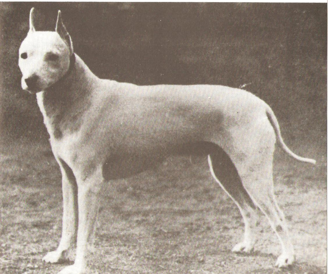 English bull terrier standard miniature for English terrier