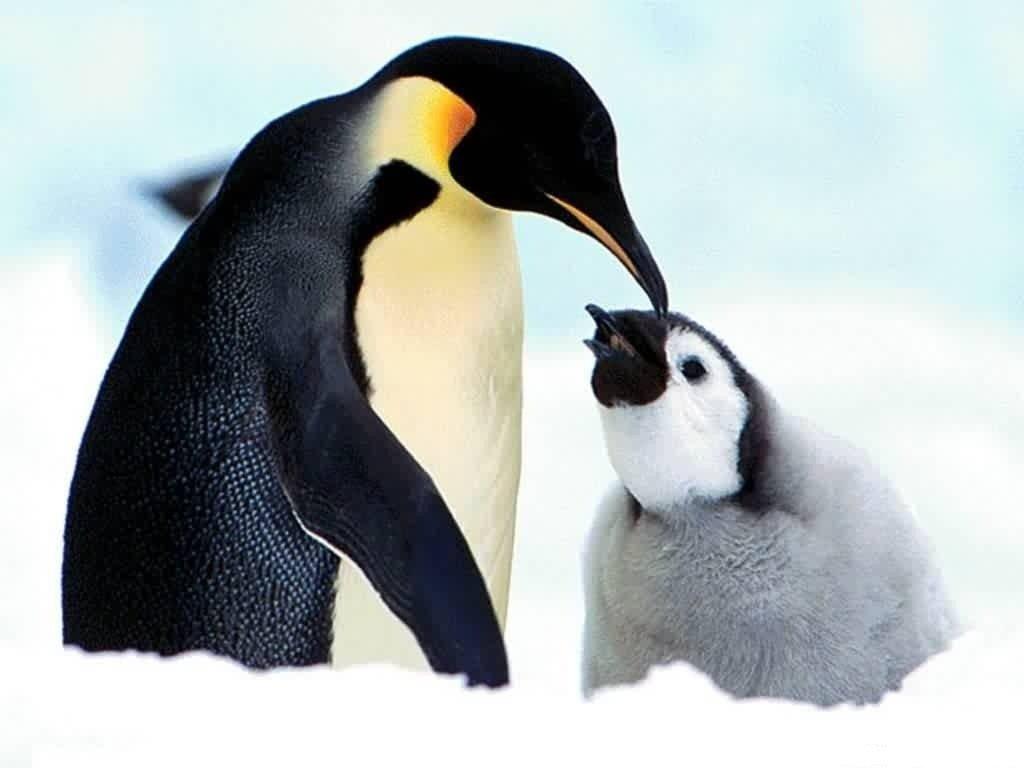 penguin wallpaper wallpapers - photo #13