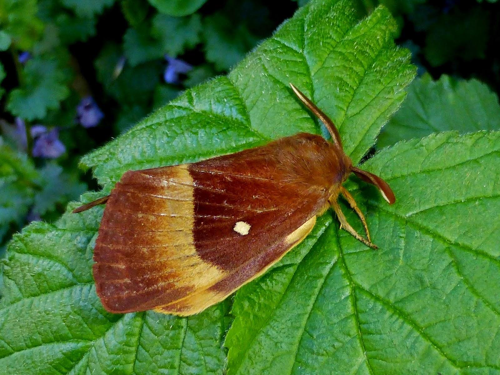 Lasiocampa quercus male