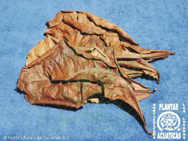 Acuarios leuka terminalia catappa almendro malabar for Cria de peces ornamentales
