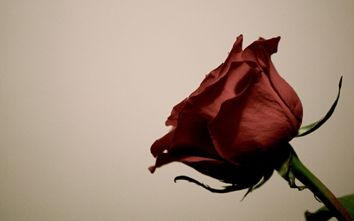 Red Rose Widescreen HD Wallpaper 2