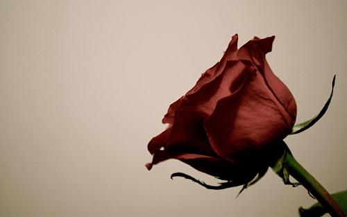 Wallpaper Bunga Mawar Terbaik