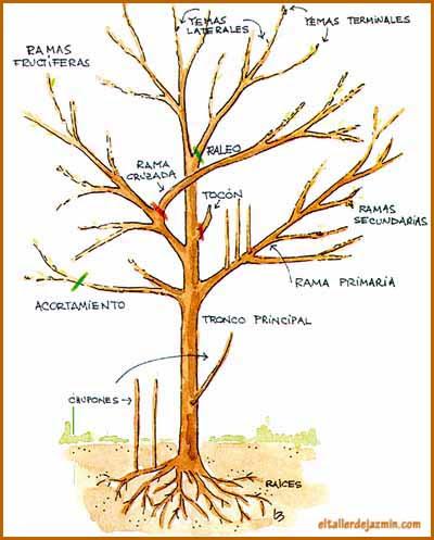 Poda de plantas tipos porque informaciones agronomicas for Un arbol con todas sus partes