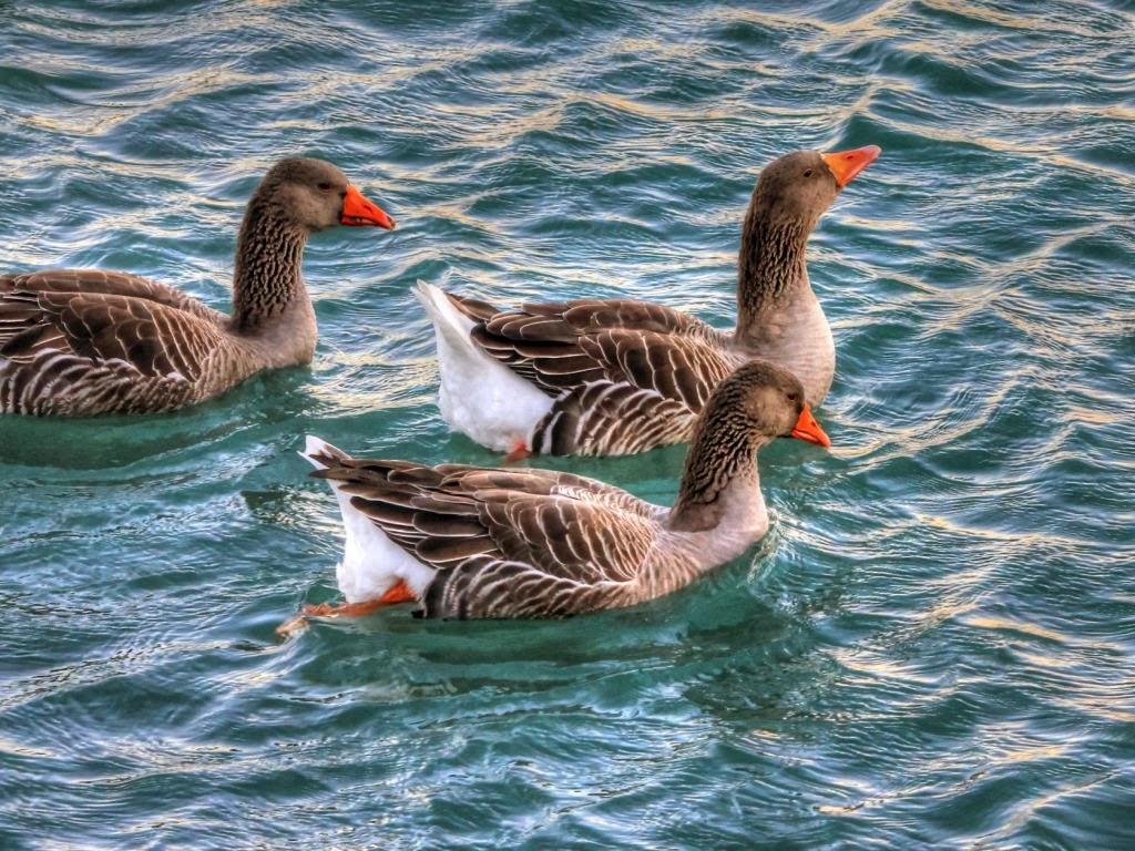 "<img src=""http://4.bp.blogspot.com/-YcBoXD7T4ag/Utmc0gCm4AI/AAAAAAAAItg/-0X5MSl1pF4/s1600/ducks-geese-swimming.jpeg"" alt=""ducks geese swimming"" />"