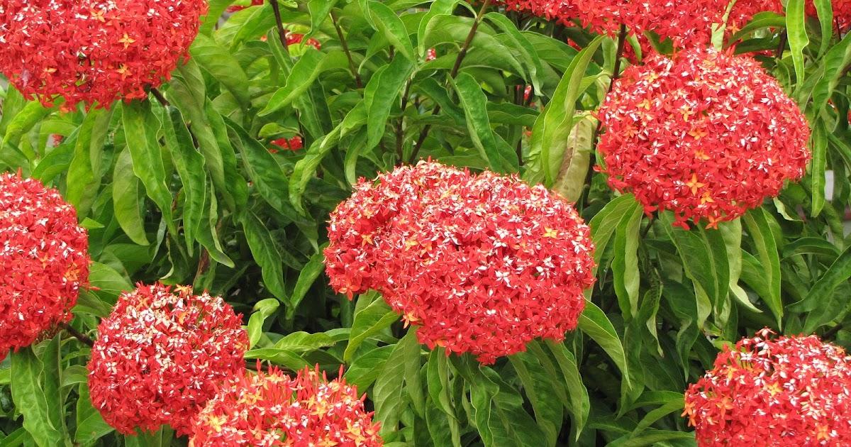 Hortensia de china ixora flore de l le de la r union for Entretien jardin reunion