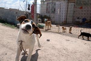 a p c a chiens errants du mexique le massacre des chiens errants se poursuit au mexique. Black Bedroom Furniture Sets. Home Design Ideas