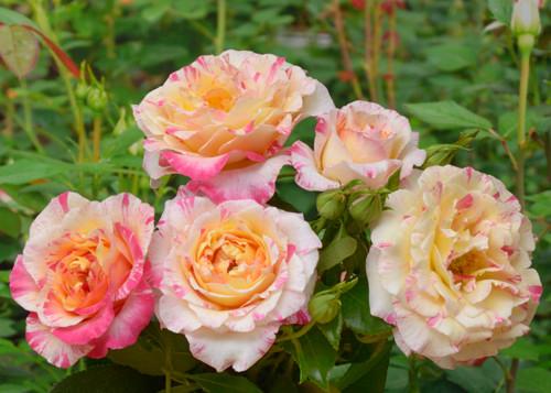 Camille Pissarro rose сорт розы фото