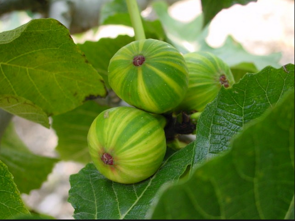 Quality of Tasty Fig