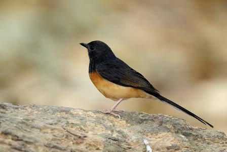 Indukan Betina Burung Murai Batu