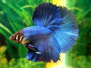 The beauty halfmoon betta for Rare types of betta fish
