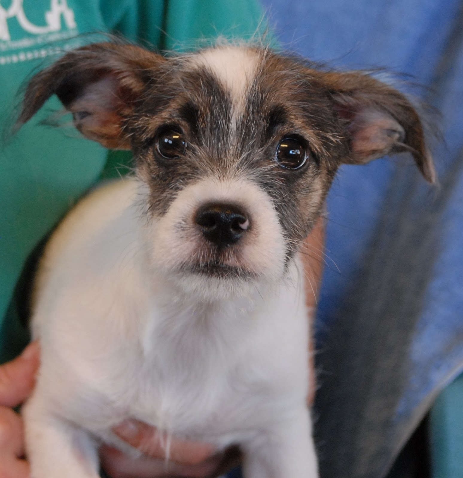 Bandit a yorkshire terrier mix baby boy debuting for adoption today
