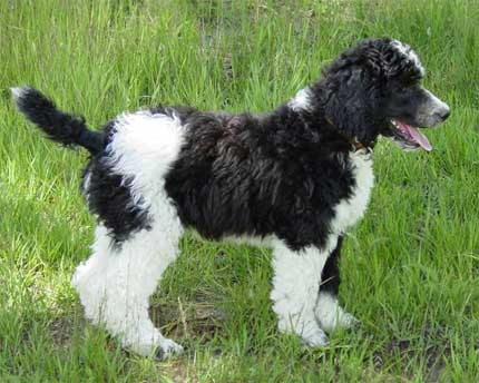 Cutest Dog Breeds In The World Poodles