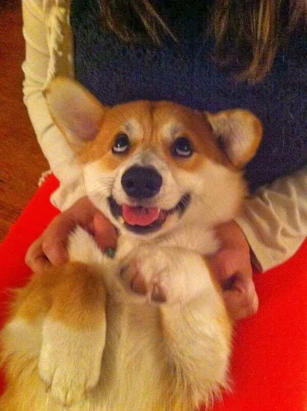 Cute dogs - part 11 (50 pics), cute corgi pictures