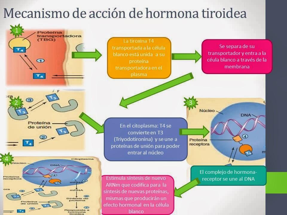 Tema 3 Los sistemas de coordinación hormonal y reproducción ...