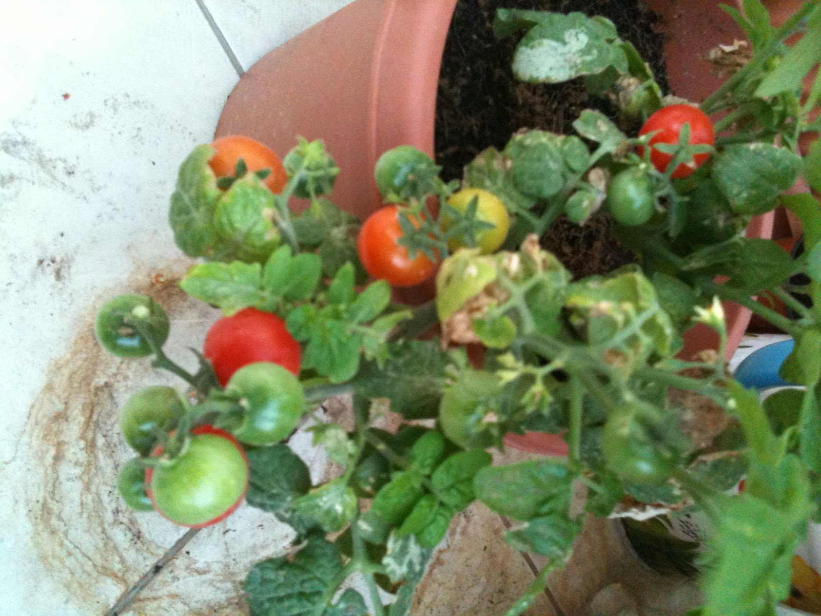 Dubai veg growers how to grow tomatoes in a container on your balcony - Best tomato plants for container gardening ...