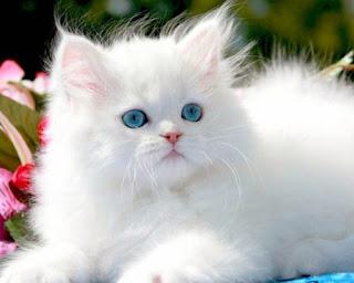 Cara Merawat Kucing Persia Informasi Dunia Hewan