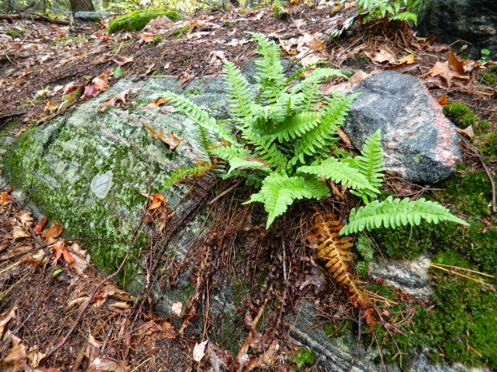 Lake Muskoka fall colours mossy rock ferns  by garden muses--a Toronto gardening blog