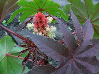 9 июня, первый цветок клещевины