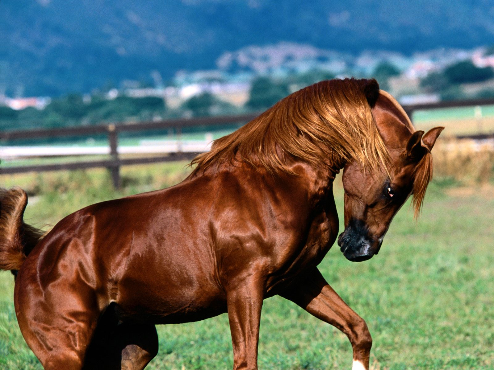 Awesome Horse Site!: Amazing Arab