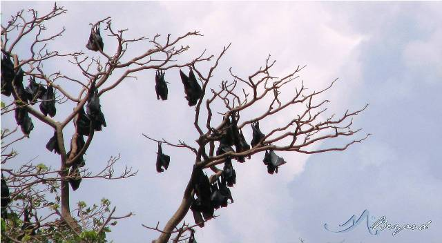 bat island of hundred islands, hundred islands bat, bats at hundred islands