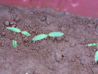 sprouted tomato seeds