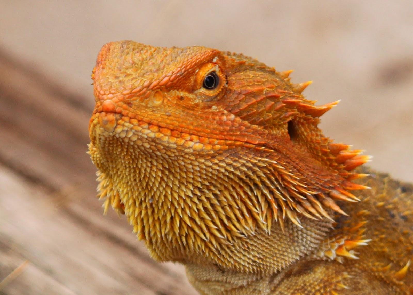 Richard Waring's Birds of Australia: Bearded Dragon eats ...