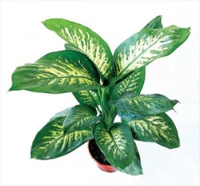 Las 4 plantas mortales para la salud que no deber as tener - Plantas venenosas de interior ...