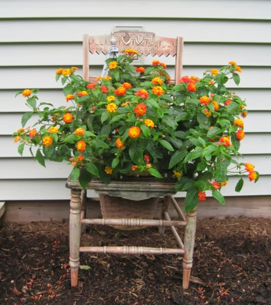 Lantana Hanging Basket Mesmerizing Too Many Tomatoes Lantana Tough But Beautiful