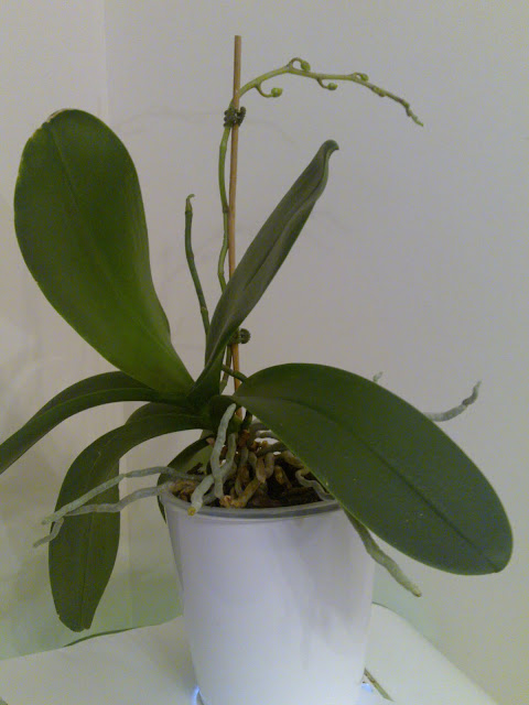 What To Do When Your Orchid Has No Flowers
